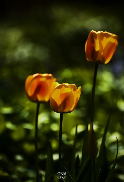 other_tulips