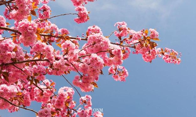 sakura_flowers