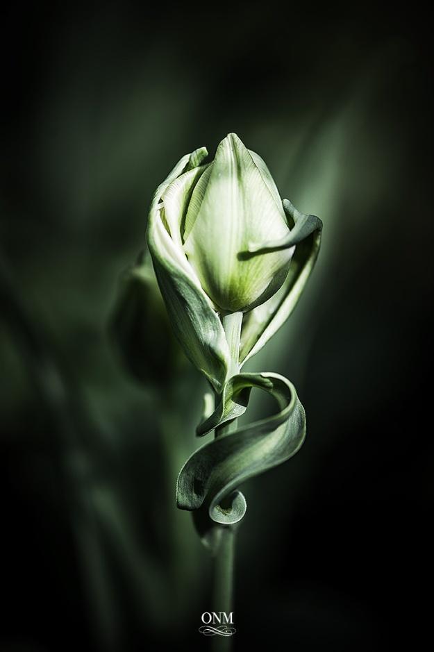 tulip_wirl